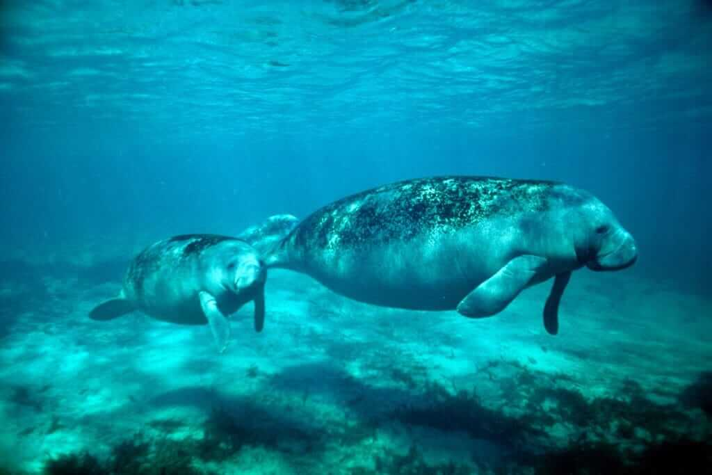 Dugong mother and her calf spotted underwater